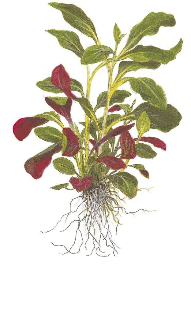 Lobelia cardinalis - Kardinals-Lobelie 5