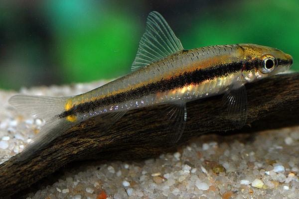 algenfresser aquarium fische