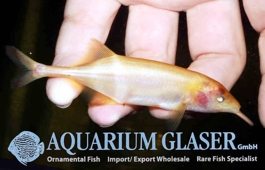 Gnathonemus petersii - Elefantenrüsselfisch 7