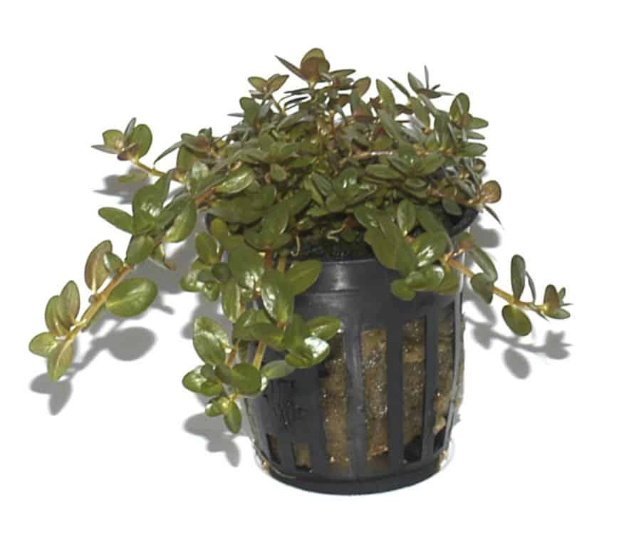 Rotala rotundifolia - Kleine Rotala 5