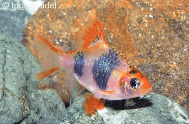 Puntigrus tetrazona - Sumatrabarbe 3