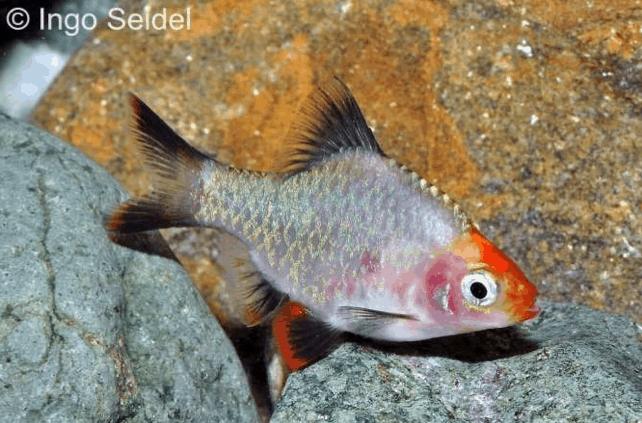Puntigrus tetrazona - Sumatrabarbe 4