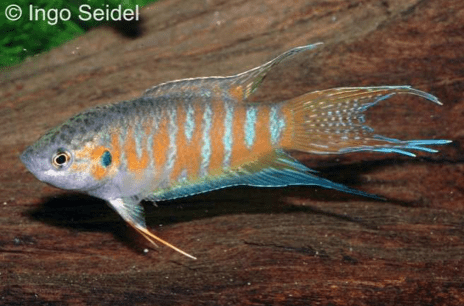 Makropodus opercularis - Paradiesfisch, Makropode 7