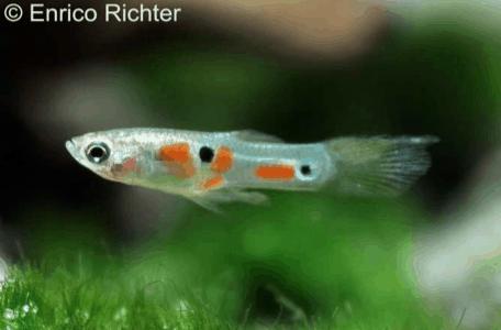 Poecilia reticulata - Guppy 14