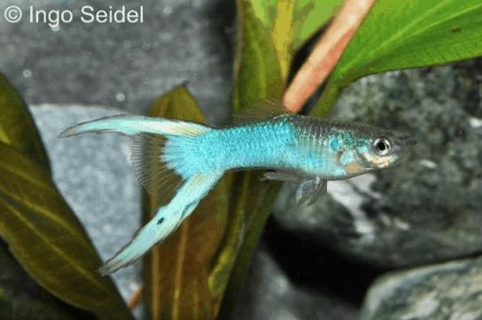 Poecilia reticulata - Guppy 10