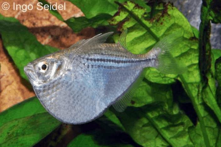 Gasteropelecus sternicla - Silberbeilbauch 3