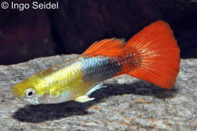 Poecilia reticulata - Guppy 9