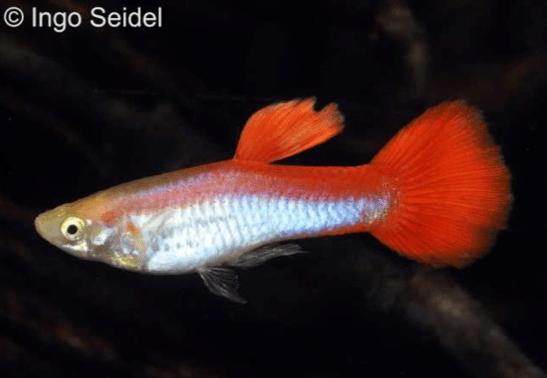 Poecilia reticulata - Guppy 7