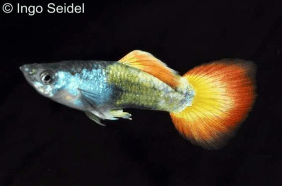 Poecilia reticulata - Guppy 4