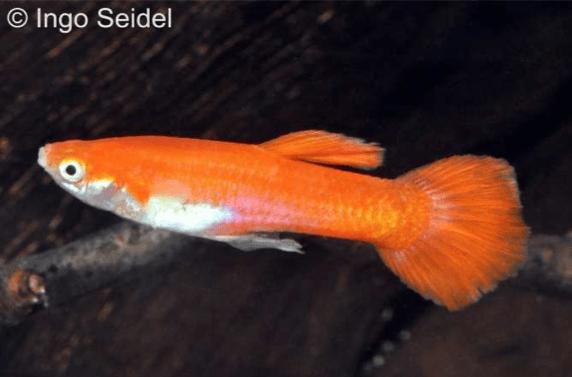 Poecilia reticulata - Guppy 3