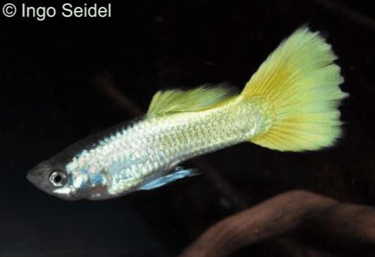 Poecilia reticulata - Guppy 2