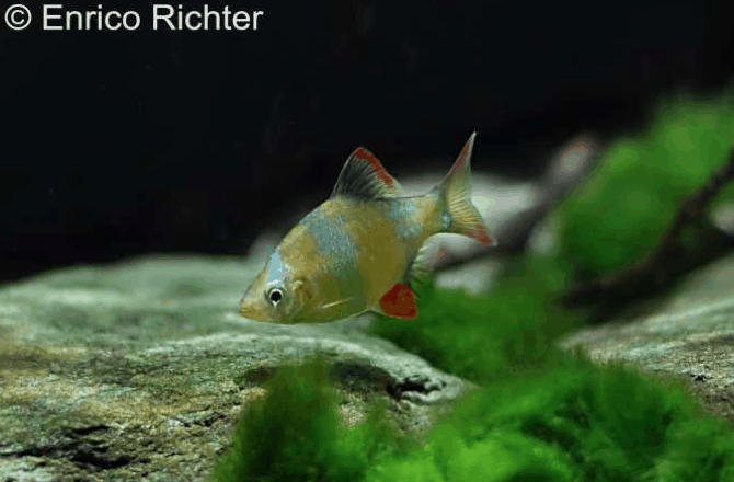 Puntigrus tetrazona - Sumatrabarbe 5