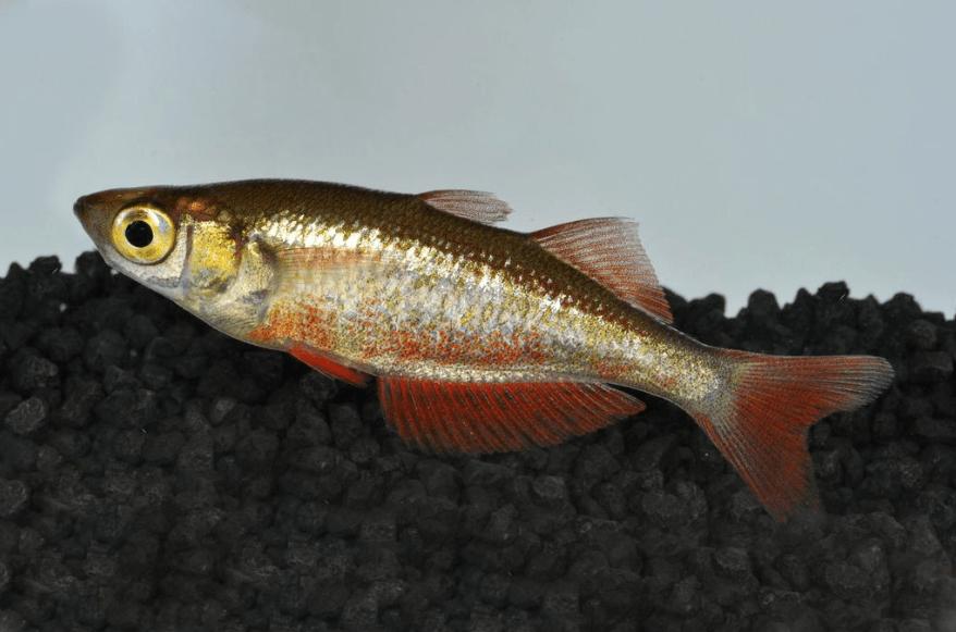 Glossolepis incisus - Lachsroter Regenbogenfisch 5