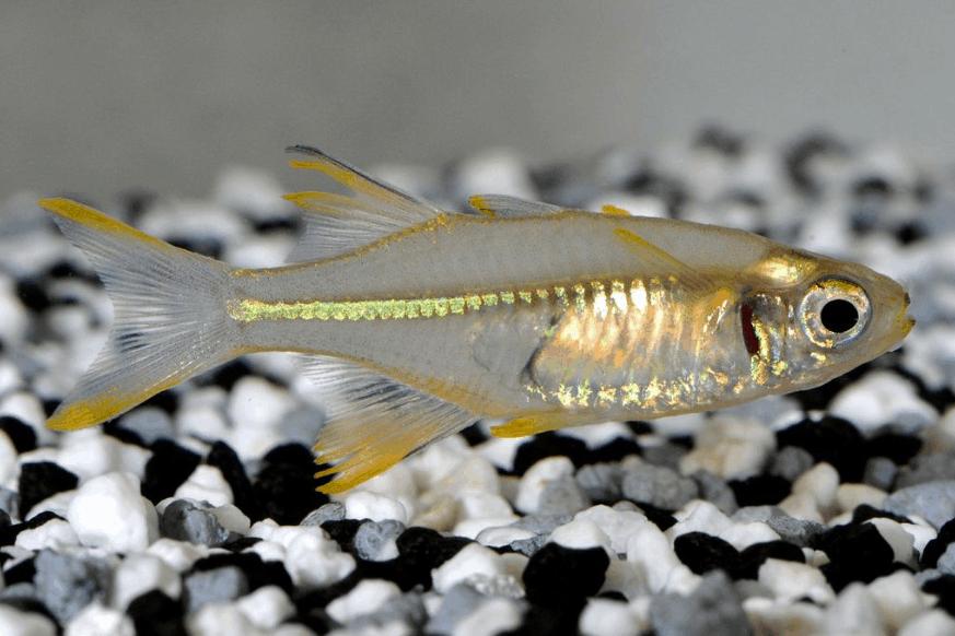 Marosatherina ladigesi - Celebes-Sonnenstrahlfisch 3