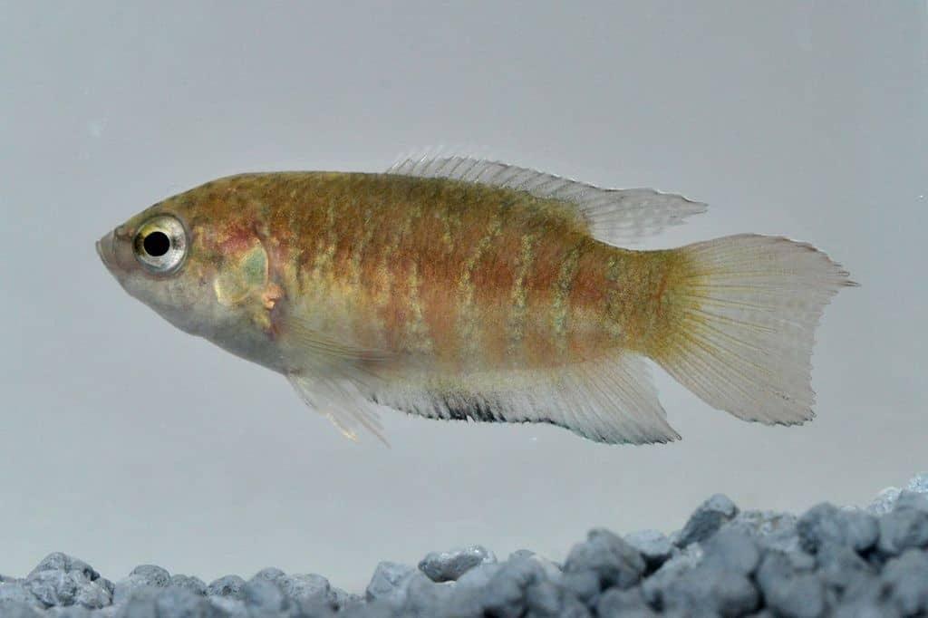 Makropodus opercularis - Paradiesfisch, Makropode 9