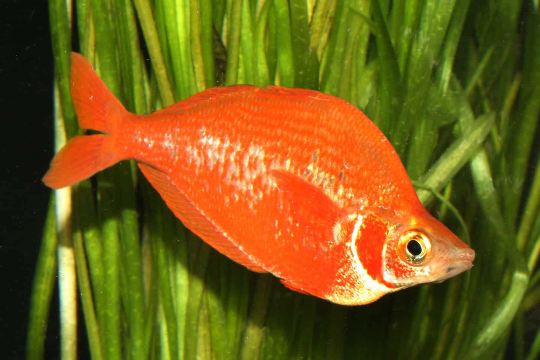 Glossolepis incisus - Lachsroter Regenbogenfisch 6
