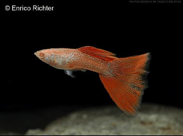 Poecilia reticulata - Guppy 26