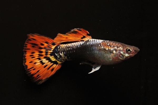 Poecilia reticulata - Guppy 72