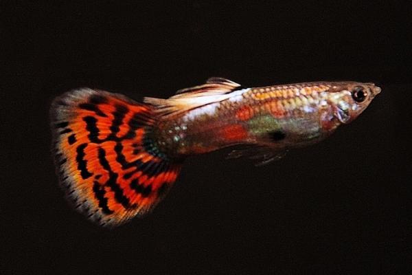 Poecilia reticulata - Guppy 73