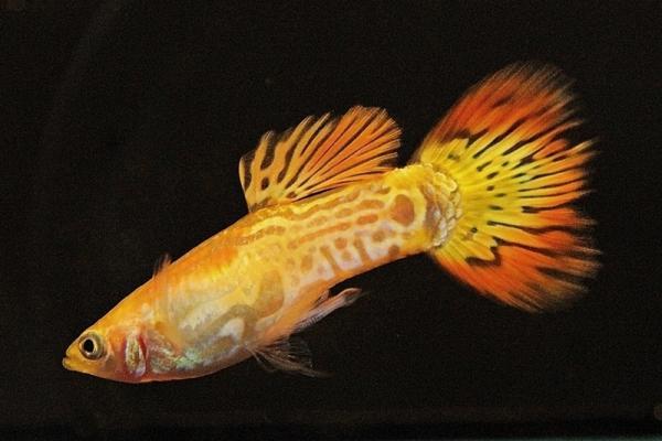 Poecilia reticulata - Guppy 54