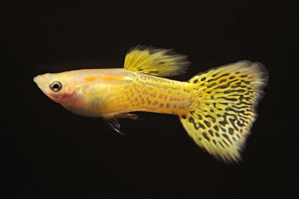 Poecilia reticulata - Guppy 58