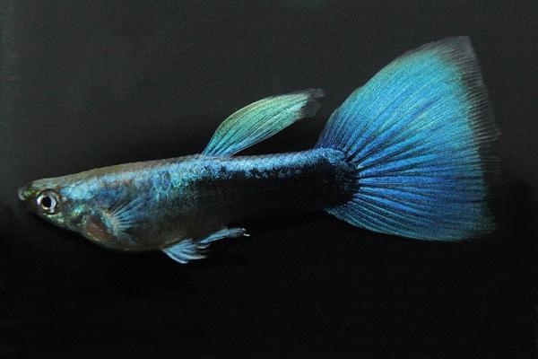 Poecilia reticulata - Guppy 64