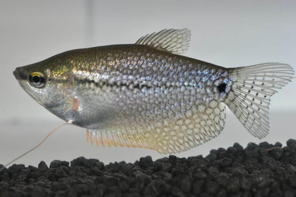 Trichogaster leeri - Mosaikfadenfisch 3