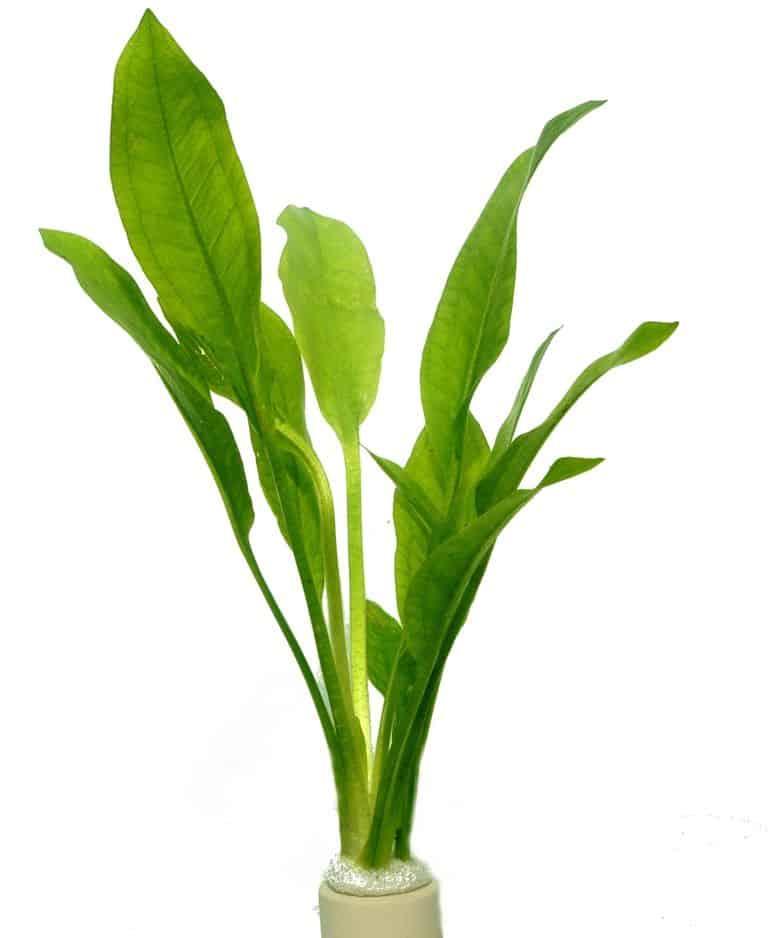 Echinodorus bleheri - Große Amazonas-Schwertpflanze 5