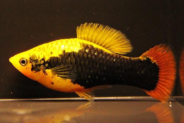 Xiphophorus maculatus - Platy 35