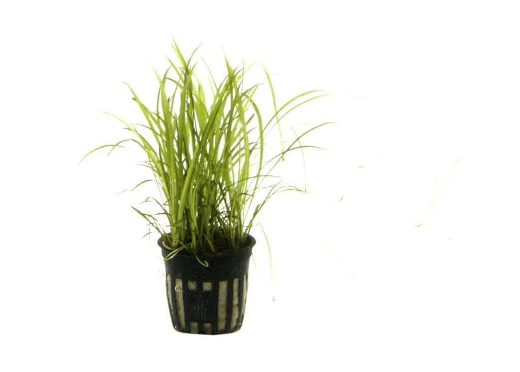 Echinodorus tenellus - Grasartige Zwergschwertpflanze 3