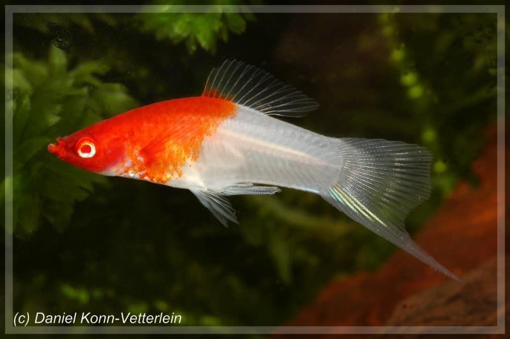 Xiphophorus hellerii - Schwertträger 2