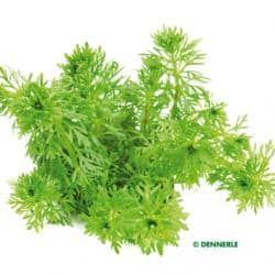Limnophila sessiliflora - Kleine Ambulia 6