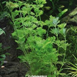 Limnophila sessiliflora - Kleine Ambulia 7
