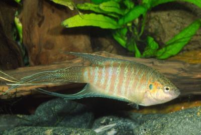 Makropodus opercularis - Paradiesfisch, Makropode 6