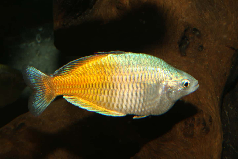 Melanotaenia boesemani - Bösemans Regenbogenfisch 5