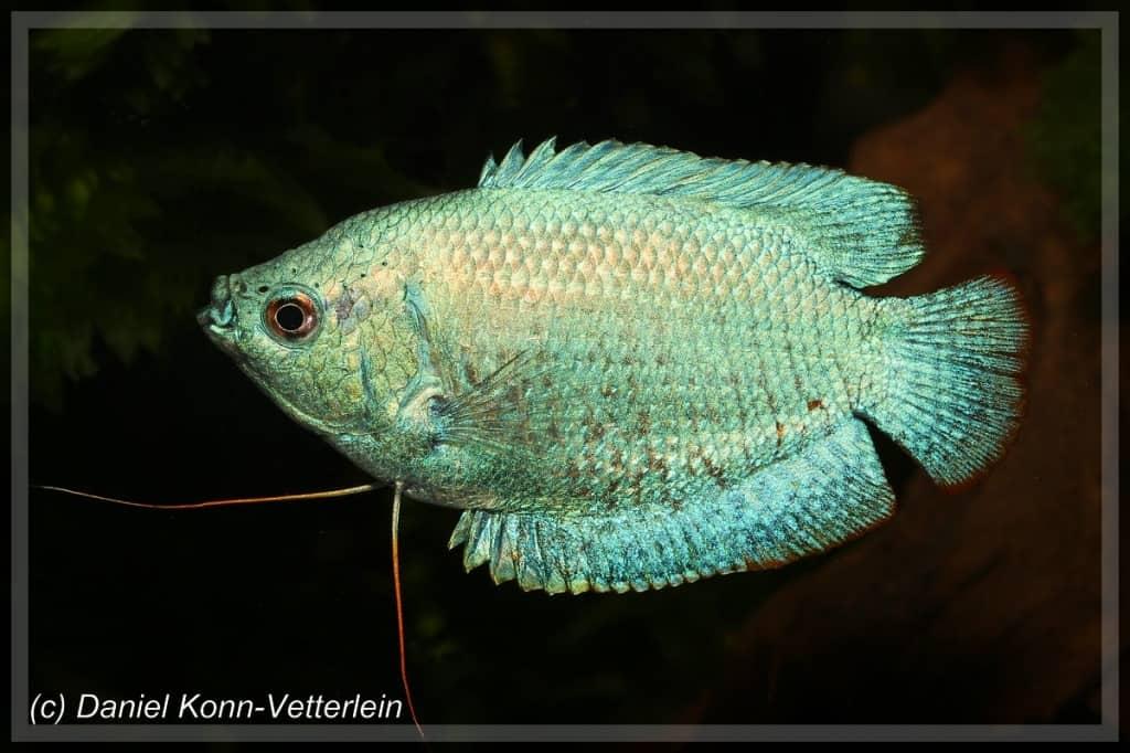 Colisa lalia - Zwergfadenfisch 11