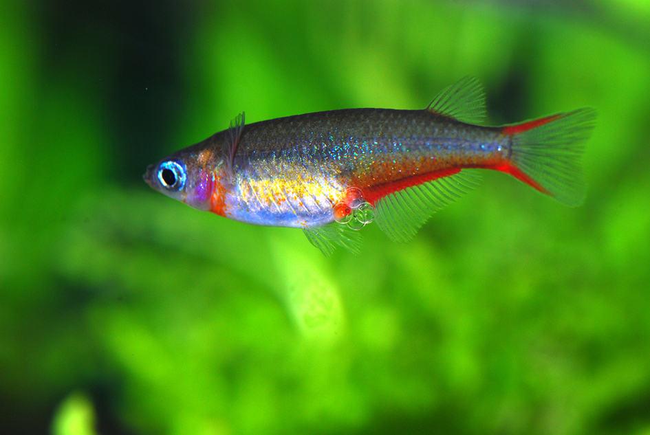 Oryzias woworae - Neon Reisfisch 1
