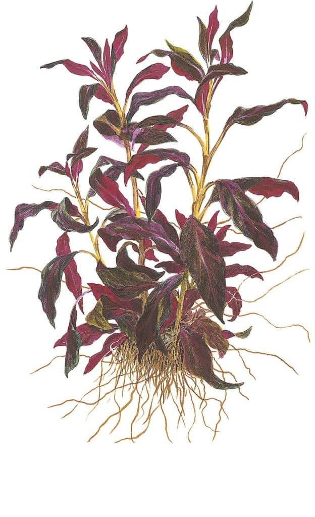 Ludwigia glandulosa - Rote Stern-Ludwigie 3