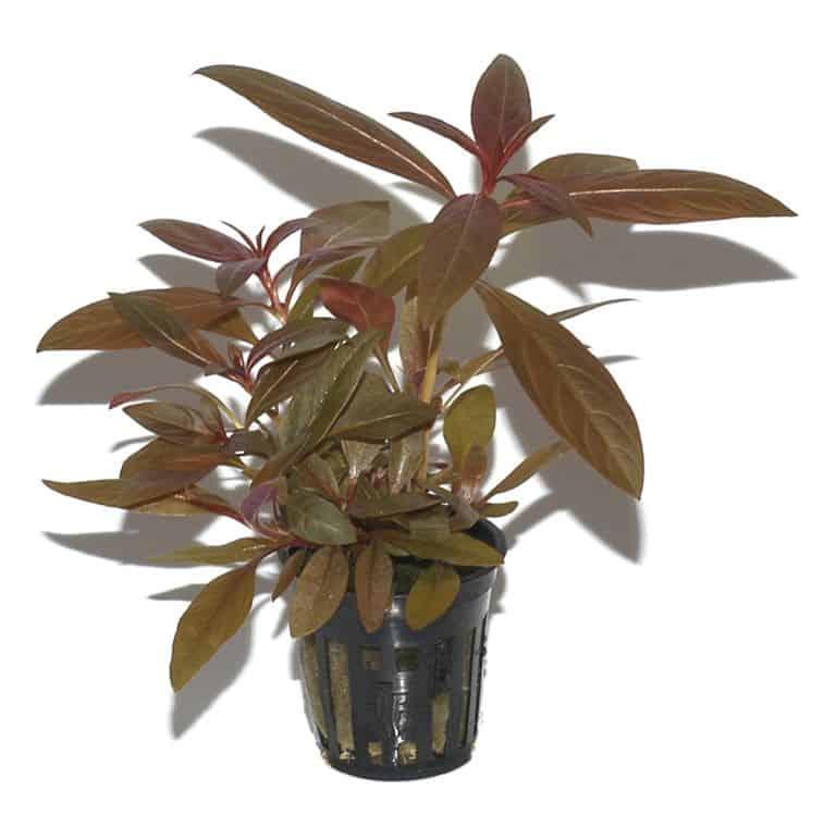 Ludwigia glandulosa - Rote Stern-Ludwigie 4