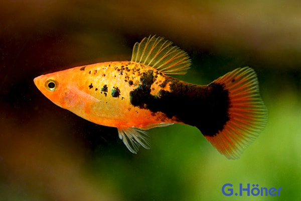 Xiphophorus maculatus - Platy 64