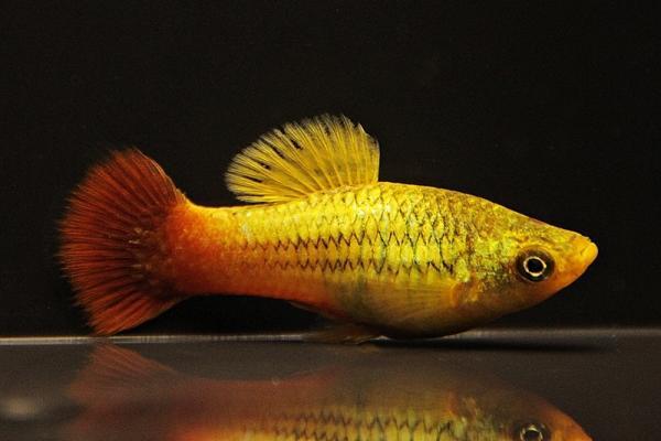 Xiphophorus maculatus - Platy 36