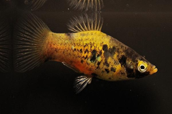 Xiphophorus maculatus - Platy 49