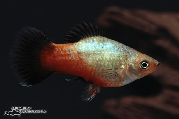 Xiphophorus maculatus - Platy 40