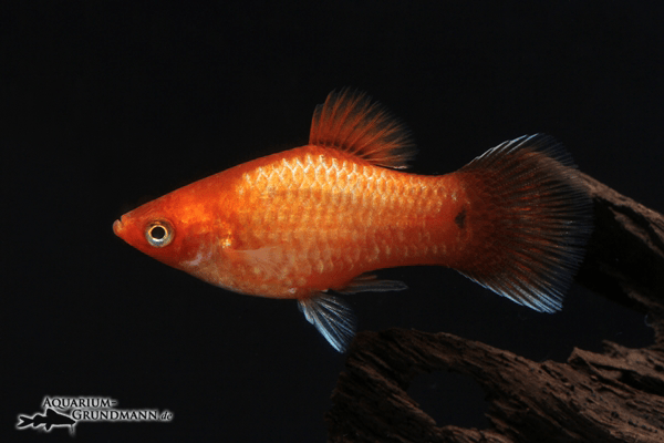 Xiphophorus maculatus - Platy 41