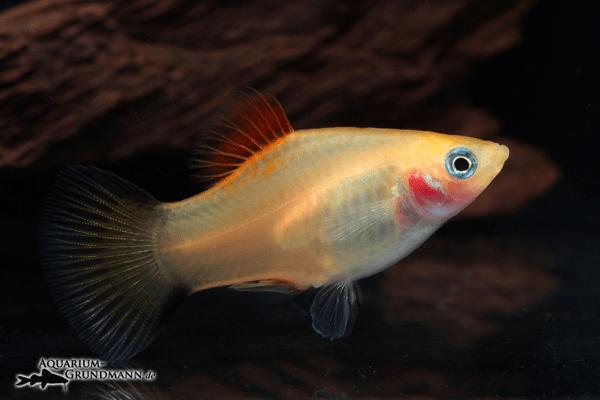 Xiphophorus maculatus - Platy 42