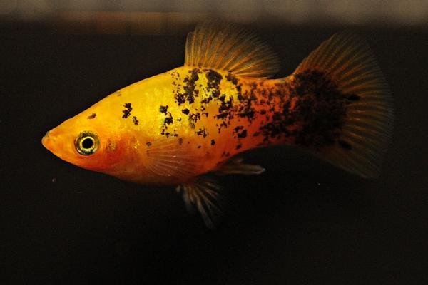 Xiphophorus maculatus - Platy 43