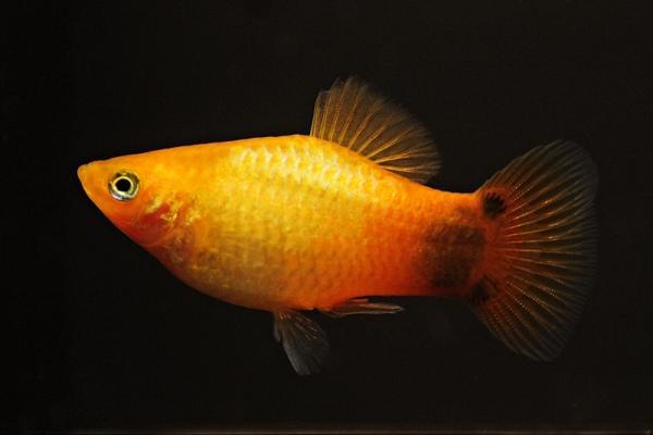 Xiphophorus maculatus - Platy 44