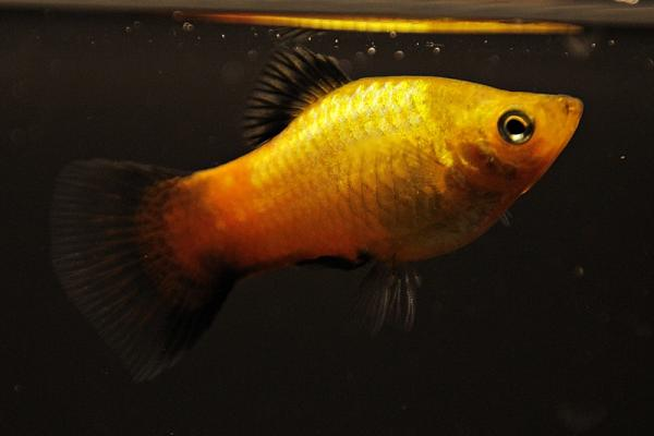 Xiphophorus maculatus - Platy 45