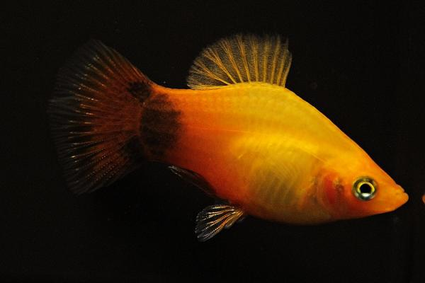 Xiphophorus maculatus - Platy 46