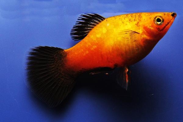 Xiphophorus maculatus - Platy 48